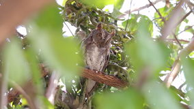 Oriental Scops-Owl Otus sunia Birds of Thailand stock video footage
