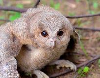 Oriental Scops Owl (Otus sunia) stock photo