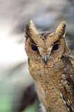 Oriental Scops Owl Royalty Free Stock Images