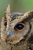 Oriental Scops Owl Royalty Free Stock Photography