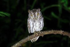 Oriental Scops Owl stock images