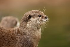 Oriental Short-Clawed Otter. Portrait of a Oriental Short-Clawed Otter Royalty Free Stock Photography