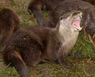 Oriental Short Clawed Otter Royalty Free Stock Photos