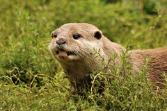 Oriental short clawed otter. Close up of an short clawed otter Royalty Free Stock Photo