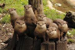 Oriental short clawed otter. Family of otters on a tree stump Royalty Free Stock Images