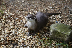 Oriental short-clawed otter Royalty Free Stock Images