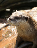 Oriental Short Clawed Otter Stock Image