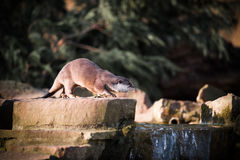 Oriental Short-clawed Otter On Rock by Water Royalty Free Stock Photography