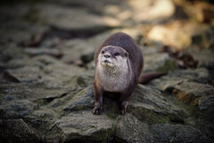 Oriental Short-clawed Otter On Rocks Stock Images