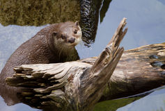Oriental Short-Clawed Otter Swimming Royalty Free Stock Photography