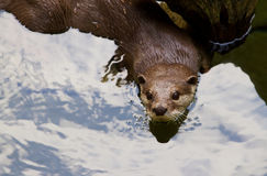 Oriental Short-Clawed Otter swimming Stock Images