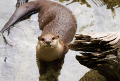 Oriental Short-Clawed Otter  swimming Royalty Free Stock Photo