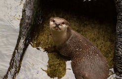 Oriental Short-Clawed Otter  swimming Royalty Free Stock Image