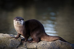 Oriental Short-clawed Otter By Water. A side view of an otter standing upon rocks looking at the camera with a mass of water behind him Stock Images