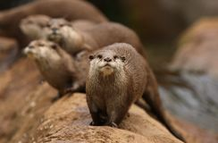 Oriental Short-Clawed Otters Royalty Free Stock Photography