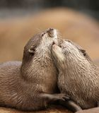 Oriental Short-Clawed Otters. Cuddling Royalty Free Stock Photo