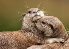 Oriental Short-Clawed Otters. Cuddling Stock Image