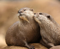 Oriental Short-Clawed Otters. A pair of Oriental Short-Clawed Otters cuddling Stock Photos