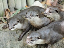 Oriental Short-Clawed Otters Stock Photos