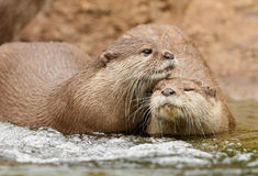Oriental Short Clawed Otters. Cuddling in a stream Royalty Free Stock Photos