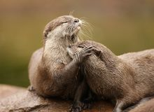 Oriental Short Clawed Otters. A pair of Oriental Short Clawed Otters cuddling with their eyes closed Stock Photo