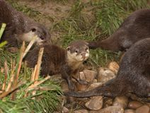 Oriental Short Clawed Otters Royalty Free Stock Images