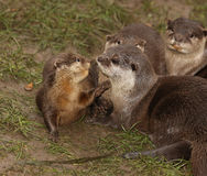 Oriental Short Clawed Otters Royalty Free Stock Photo