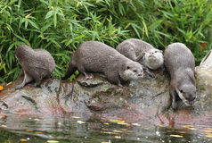 Oriental Short-Clawed Otters Royalty Free Stock Image