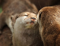 Oriental Short Clawed Otters Stock Image