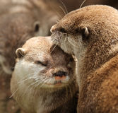 Oriental Short Clawed Otters Royalty Free Stock Photos