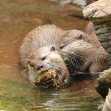 Oriental Short Clawed Otters Stock Photography