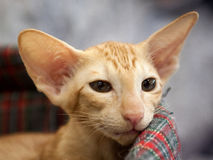 Oriental Shorthair Cat Stock Images