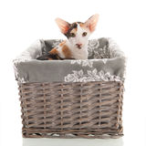 Oriental Shorthair cat Royalty Free Stock Photography