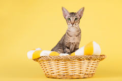 Oriental Shorthair cat Royalty Free Stock Image
