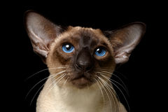 Oriental Shorthair cat. Close-up portrait of Oriental Shorthair cat isolated on black Royalty Free Stock Photography