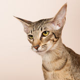 Oriental Shorthair cat Royalty Free Stock Photo