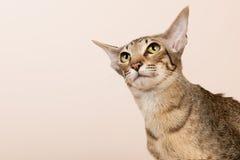 Oriental Shorthair cat Stock Photos
