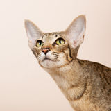 Oriental Shorthair cat Stock Photos