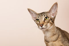 Oriental Shorthair cat Royalty Free Stock Images