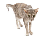 Oriental shorthair cat curiously looking Royalty Free Stock Images