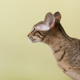 Oriental Shorthair cat Stock Photography