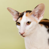 Oriental Shorthair cat Stock Image