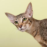 Oriental Shorthair cat Stock Photo