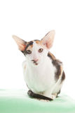 Oriental Shorthair cat Royalty Free Stock Photos