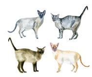 Oriental shorthair cats royalty free stock photos