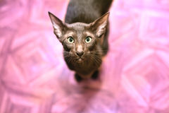 Oriental  shorthair  in front of a pink background Royalty Free Stock Photography