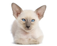 Oriental Shorthair kitten, 9 weeks old, lying Stock Images