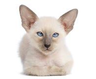 Oriental Shorthair kitten, 9 weeks old, lying Stock Images