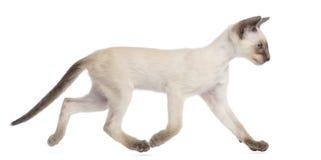 Oriental Shorthair kitten, 9 weeks old, running. Against white background Royalty Free Stock Photos