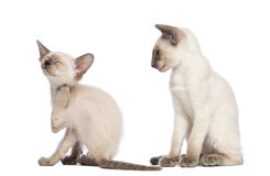 Oriental Shorthair kitten scratching Stock Photo